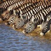 Zebra herd drinking water in waterhole - close-up view