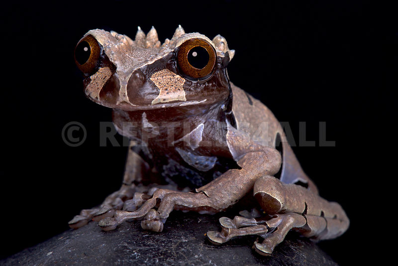 spiny-headed tree frog (Anotheca spinosa)