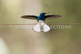 white_necked_jacobin_wire-5