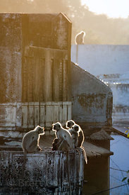 Langur monkeys (Semnopithecus sp.) on a rooftop in Pushkar, Rajasthan, India