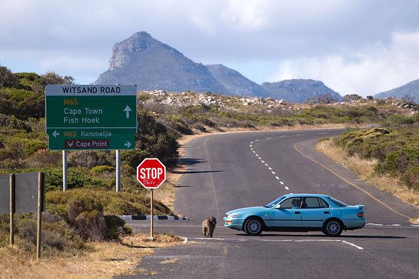 Alpha male baboon from the De Gama Park troop on the highway near Kommetjie, Cape Peninsula, South Africa. Many baboons are k...