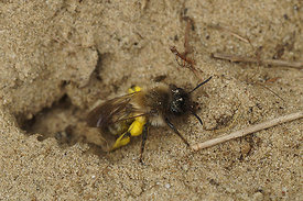 Andrena nycthemera, female at Durmplassen , Merendree
