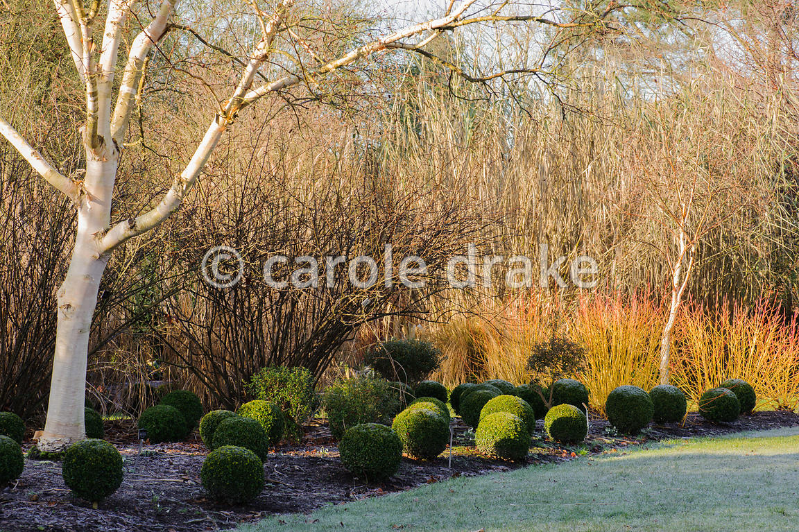 Cornus sanguinea 'Midwinter Fire' with clipped box balls. Sir Harold Hillier Gardens, Ampfield, Romsey, Hants, UK