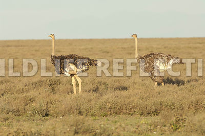 ostrich_two_females_plains_1