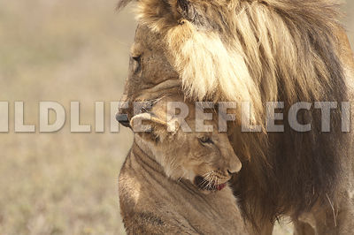 Lion Attack Closeup 17