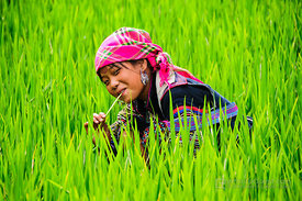 Young Black Hmong Woman in Lush Rice Paddy