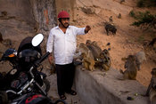 India - Rajasthan - A man feed the monkeys on the path up the mountainside at Galta and the Surya Mandir (known as the Monkey...
