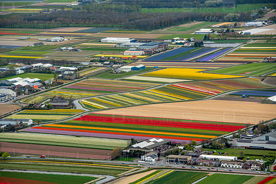 Flowering bulb fields in the bulb region at Lisse Netherlands