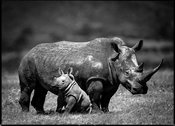44445-Baby_rhino_protected_by_his_mum_Kenya_2013_Laurent_Baheux
