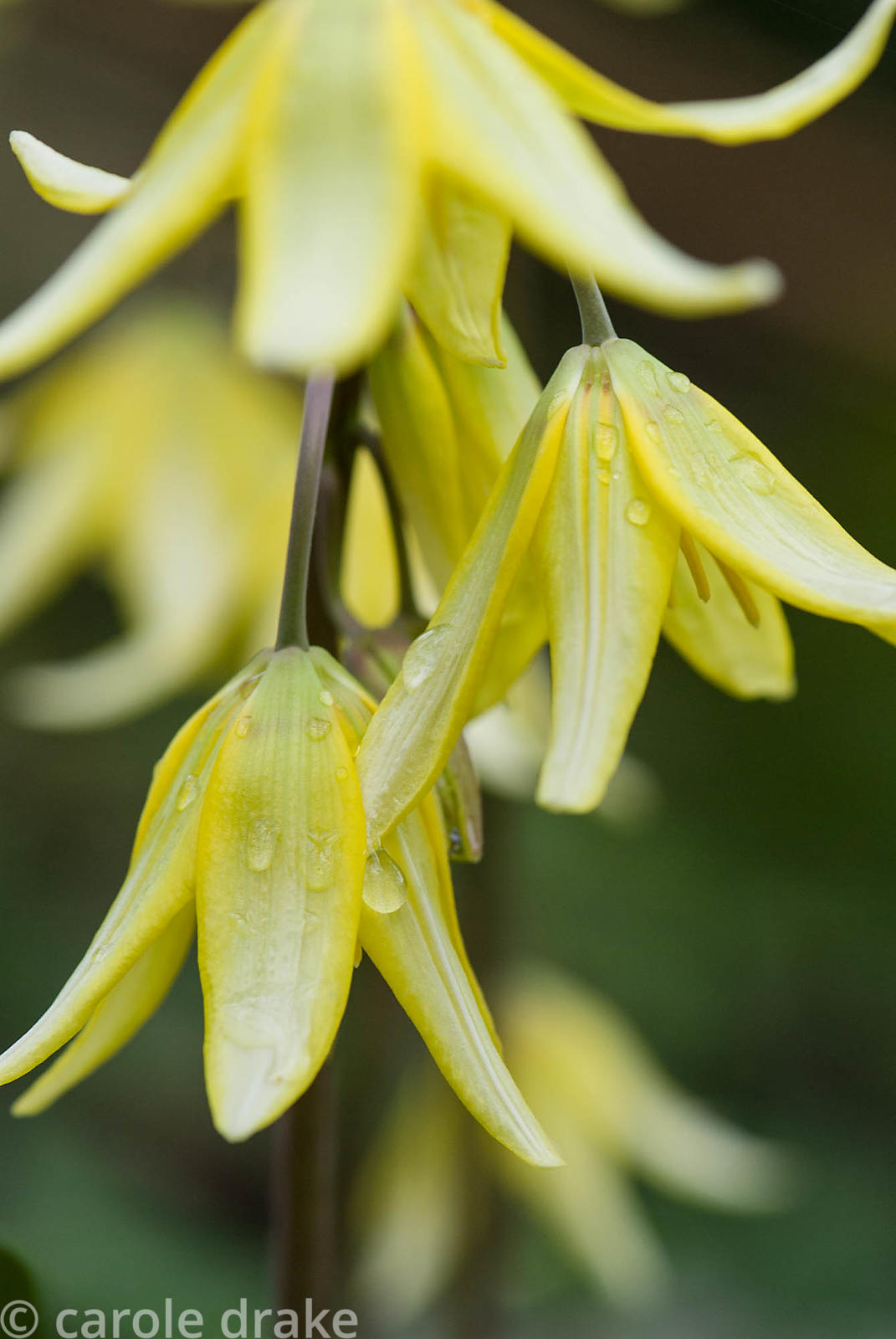 Erythronium citronella. Greencombe, Porlock, Somerset, UK
