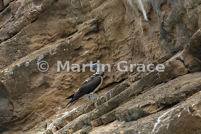 Blue-Footed Booby (Sula nebouxii excisa) on the stratified volcanic ash cliffs of Punta Pitt, San Cristobal