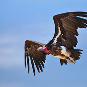 Lappetfaced Vulture in flight against blue sky