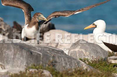nazca_booby_juvenile_and_adult_1