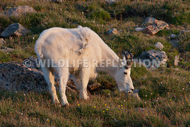 mountain_goat_grazing