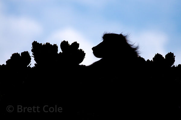Alpha male chacma baboon from the Cape Point troop is silhouetted in a protea (sp.) bush, near the Cape of Good Hope, Cape Pe...