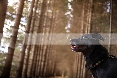 portrait of black lab dog looking skyward in forest of pine trees