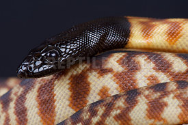 Black-headed python (Aspidites melanocephalus)