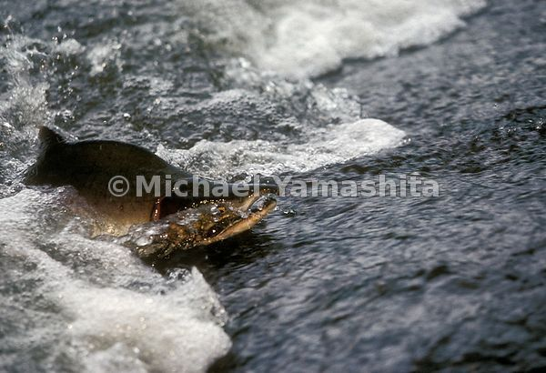 A Pacific Salmon swims upriver. Kuril Islands, Russia.