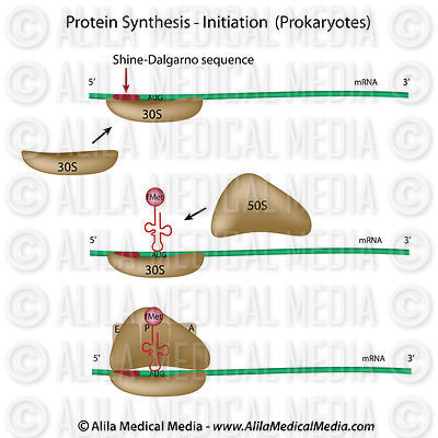 Protein synthesis initiation (prokaryotes)