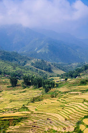 Golden Yellow Terraced Rice Paddies Before Harvest