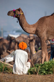 Farmer feeding his camels in Pushkar, Rajasthan, India