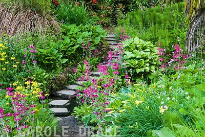 Stepping stones across stream surrounded by moisture loving plants including yellow Primula prolifera, magenta Primula pulver...