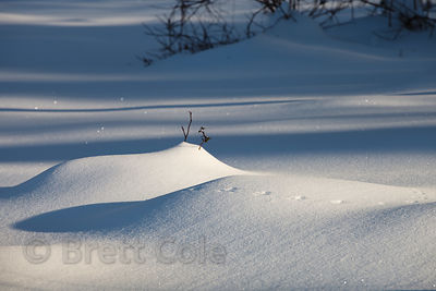 Deep, pristine snow at sunrise, in a remant area of riparian and prairie woodlands, near Gaithersburg, Montgomery County, Mar...