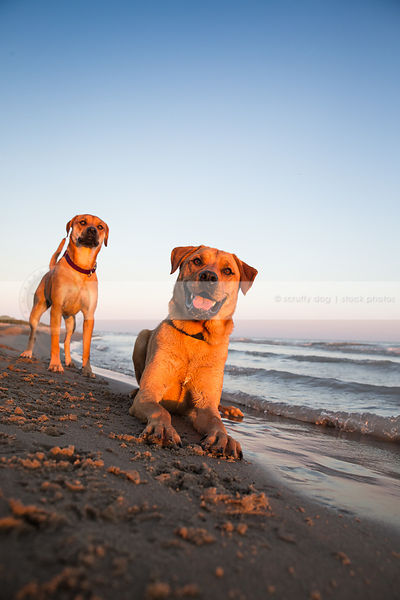 two happy red dogs on lake shore beach with waves at sunset