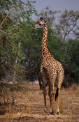 Thornicroft's giraffe, (Giraffa camelopardalis thornicrofti) is endemic to the Luangwa Valley, South Luangwa National Park, Z...