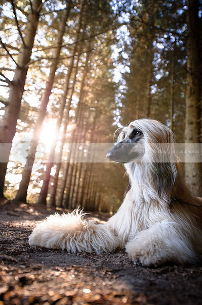 blond and black dog lying in pine tree forest with sunflare