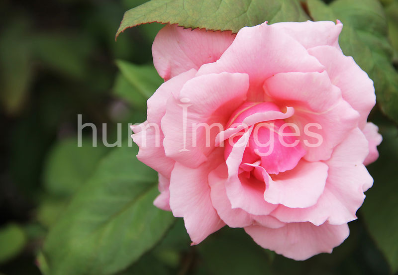 Beautiful Pink Rose in Bloom