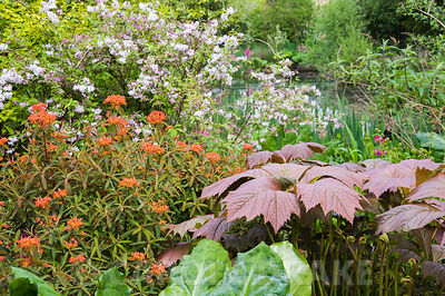 Euphorbia griffithii 'Fireglow' with bronze rodgersia foliage in a boggy area beside the pond. Windy Hall, Windermere, Cumbri...