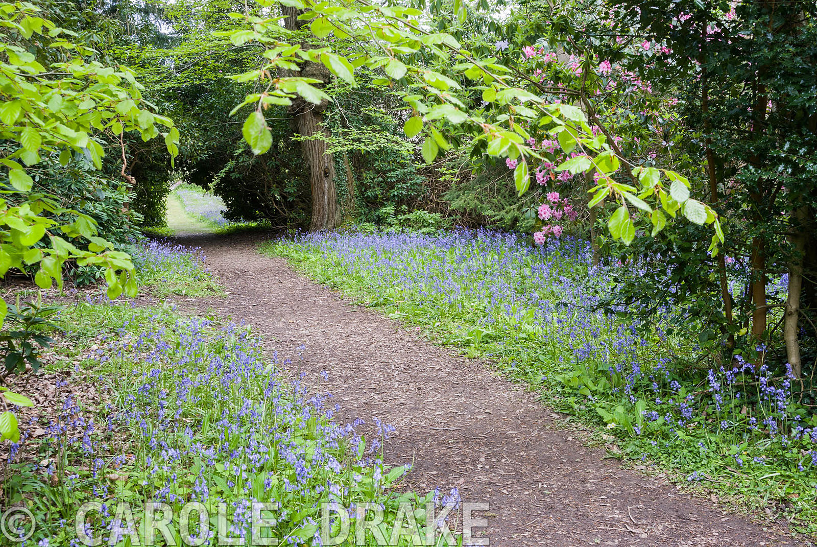 Path through bluebell covered ground. Enys Gardens, St Gluvias, Penryn, Cornwall, UK