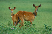 Bushbuck with young (Tragelaphus scriptus), Queen Elizabeth National Park, Uganda