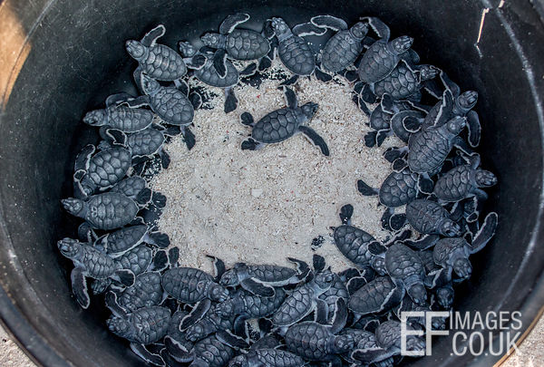 Lots Of Baby Green turtle Hatchlings In A Bucket