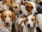 Quorn foxhounds - Quorn at Cold Newton 8-11-13