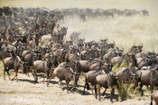 The wildebeest migration, Blue wildebeest (Connochaetes taurinus) , Serengeti National Park, Tanzania