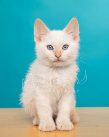 Portrait of White Kitten With Blue Eyes Against Blue Studio Background