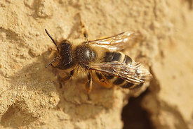 Andrena flavipes, female