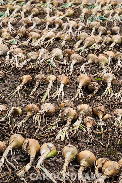 Onions laid out to dry. RHS Garden Rosemoor, Great Torrington, Devon, UK