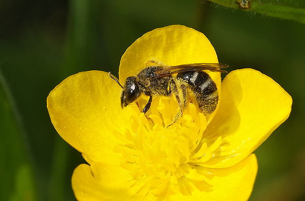 Lasioglossum species, Miseriebocht Sint - joris