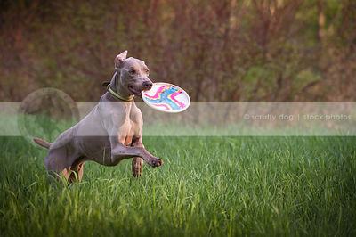 lean grey gundog fetching carrying frisbee in meadow grasses
