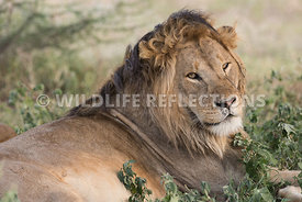 male_lion_resting_brush_ndutu_02202015-4