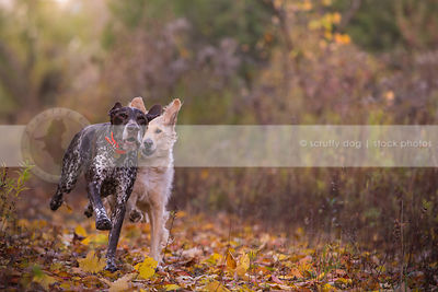 two dogs running racing on trail in autumn leaves