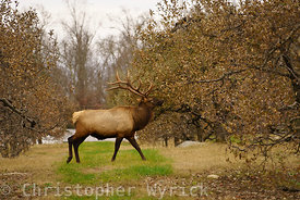 Another beautiful shot of Elk feeding near the national park in Cosby, Tennessee.