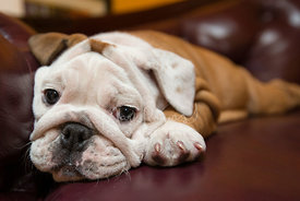 Close-up of Worried Tired Bulldog Puppy Lying on Red Leather Couch