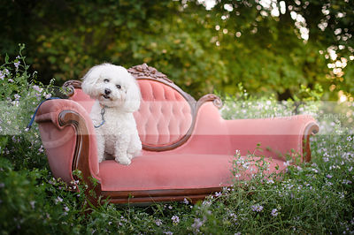 curious little white groomed dog on antique settee in flowers