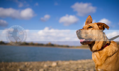 portrait of tan cross breed dog at lake in summer