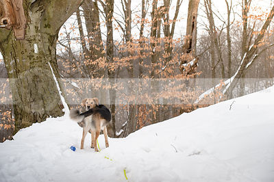 black and tan shepherd dog looking back on snow forest trail