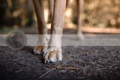 tan dog legs and paws standing in pine needles